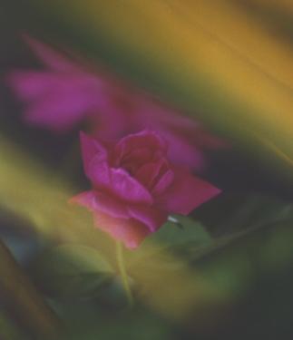 Panama Rose