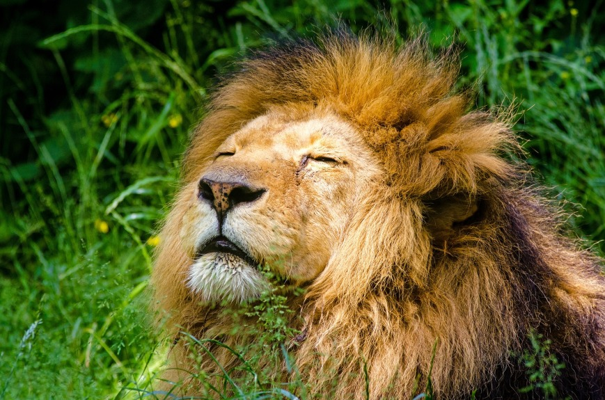 african-lion-951778_1920