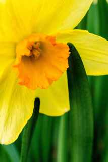 photo of yellow daffodil flower